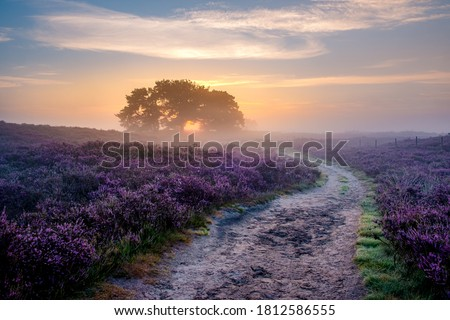 Photo of  Blooming Heather fields, purple pink heather in bloom, blooming heater on the Veluwe Zuiderheide park , Netherlands. Holland