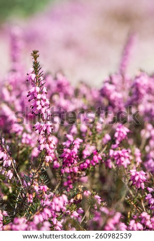 Blooming heathers with blurred background #260982539