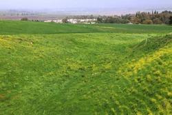 Blooming hill. Yellow flowers and green grass. Mustard field. Upper Galilee. Bible landscape. Israel farmland