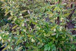 Blooming honeysuckle flowers in spring garden. Lonicera caerulea bush. Blooming honeysuckle flowers in spring garden.