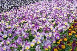 Blooming horn violets in the nursery