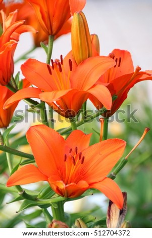 Blooming hybrid Asiatic lily in the summer garden