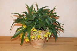 Blooming hybrid orchid from Brazil. Yellow flowers of Promenea. Close-up of mini orchid Promenaea in bloom. In a flower pot