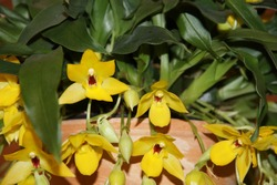 Blooming hybrid orchid from Brazil. Yellow flowers of Promenea. Close-up of mini orchid Promenaea in bloom with green healthy leaves. In a flower pot