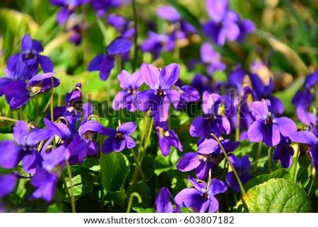 blooming in spring close-up. Nature background. Sweet Violet, English Violet, Common Violet, or Garden Violet\n