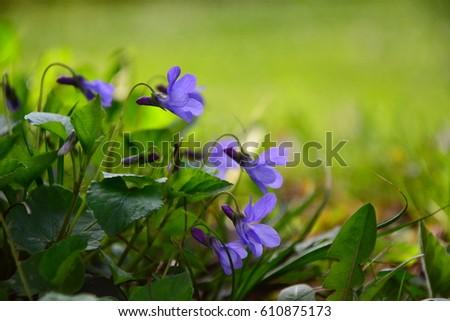 Blooming in spring close-up. Nature background. Sweet Violet, English Violet, Common Violet, or Garden Violet