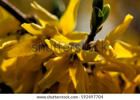 Blooming in spring garden bush forsythia. Rural.  #592497704