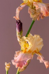 Blooming iris on a pink background