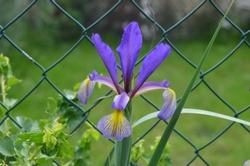 Blooming Iris spuria 'Premier' in the garden