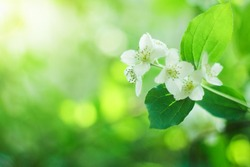 blooming jasmine bush. white flowers on a green background with a beautiful side. spring mood, beautiful nature. Place for text