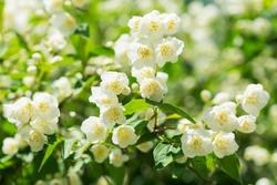 blooming jasmine flowers in a garden
