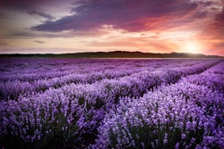 Blooming lavender field under the red colors of the summer sunset