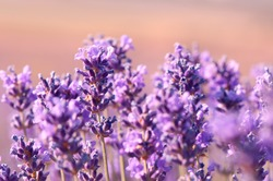Blooming lavender in the sunset close-up. Beautiful lavender flower field. Growing lavender, blooming violet fragrant lavender flowers. Perfume ingredient, honey plant