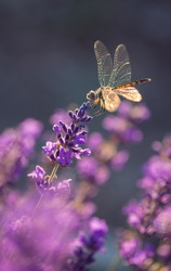 Blooming lavender with dragonfly black pennant in golden sunset light. Lavandula angustifolia, blooming violet fragrant lavender flowers. Perfume ingredient, honey plant with copy space.