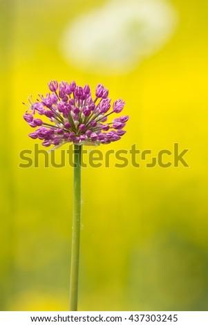 Blooming Leek