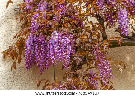 Blooming lila Wisteria sinensis.  Flowering Wisteria near the house.
