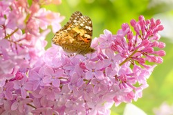 Blooming lilac bush in the garden. The butterfly sits on delicate lilac flowers.