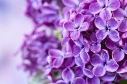 Blooming lilac flowers. Macro photo.
