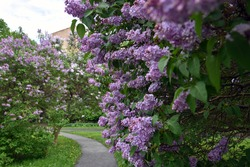 Blooming lilac trees. Taken at lilacs garden in Moscow.