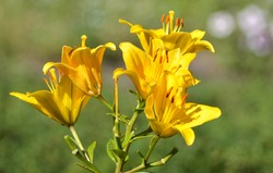 Blooming Lilies. Planting material. Perennial flowers. Blooming lilies in the flowerbed.