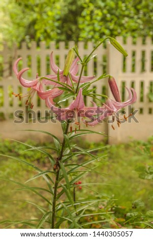Blooming lily of Asian hybrids 'Pink Haze' or 'Rozovaja Dymka' after watering in the garden Zdjęcia stock ©