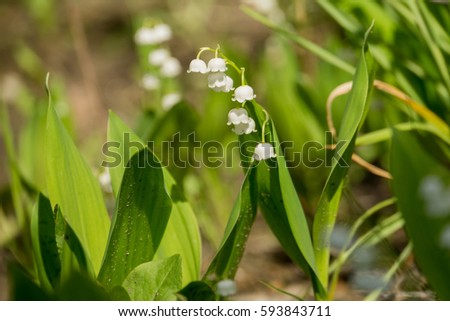 Blooming Lily Of The Valley Flowers In Spring Garden Ez Canvas