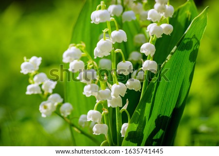 Blooming lily of the valley flowers on a background of green grass with place for copy text. Flower Spring Lily of the valley Background Horizontal Close-up Macro shot. Close-up of lily of the valley. Stock photo ©