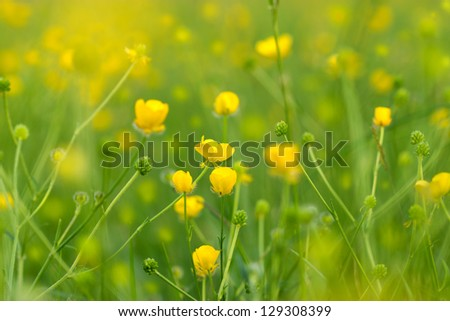 Blooming little yellow meadow flower in April and May
