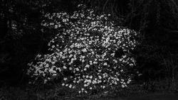 Blooming lonely shrub - nostalgic atmosphere, black and white