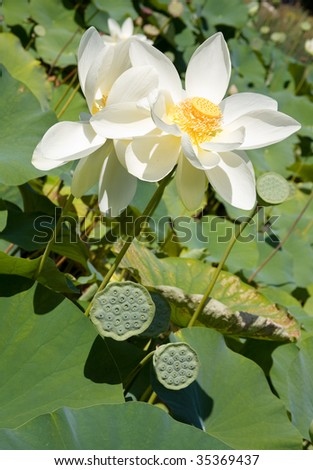 Blooming lotus and its seed pods