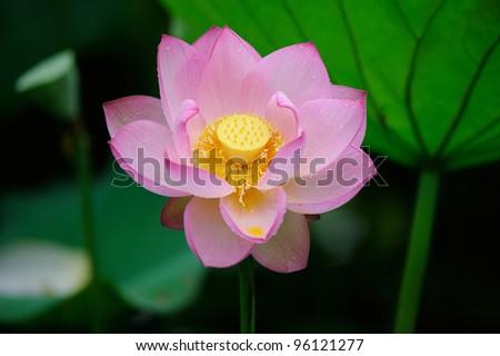 blooming lotus flower over dark background