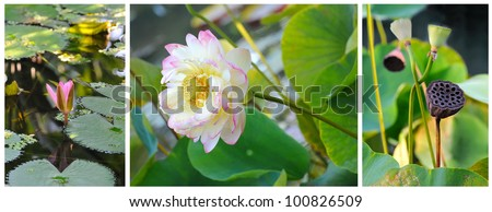 Blooming lotus flower, three stages of life