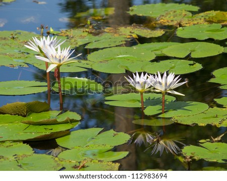 blooming lotus on the pool