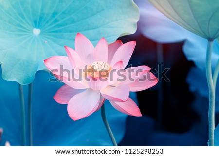 Blooming lotus or waterlilly flower in the pond