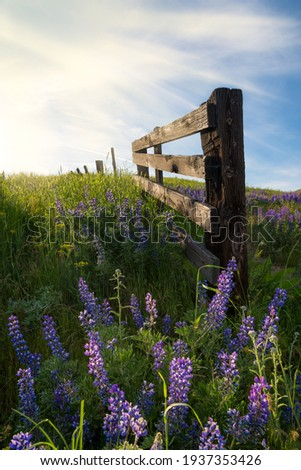 Blooming Lupine fence line in the sun dalles mt ranch Columbia Hills Historical State Park Photo stock ©