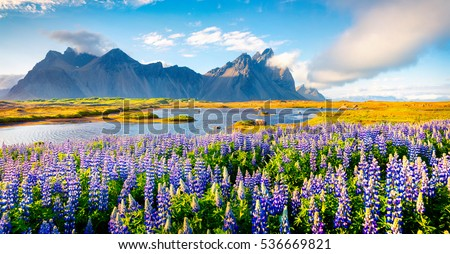 Blooming lupine flowers on the Stokksnes headland. Colorful summer panorama of the southeastern Icelandic coast with Vestrahorn (Batman Mountain). Iceland, Europe. Artistic style post processed photo.