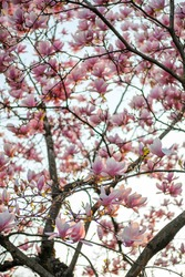 Blooming magnolia tree at sunset light. Blooming magnolia branches at sunset light. Pink magnolia tree. Magnolia tree background.