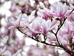 blooming magnolia tree in park in gdansk
