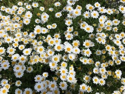 Blooming marguerites yellow, white and green