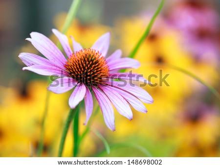 Blooming medicinal herb echinacea purpurea or coneflower, close-up