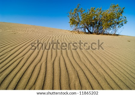 blooming mesquite bush on rippled sand dune, death valley, california