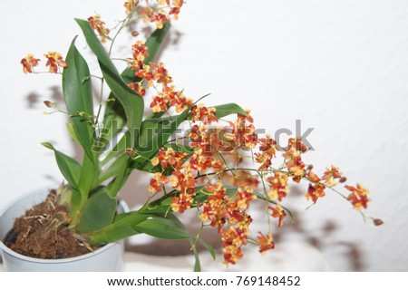 Blooming mini orchid hybrid oncidium twinkle cinnamon with green leaves und healthy bulbs in the flowerpot