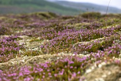 Blooming moss growing on lava and stone fields in Iceland at summer