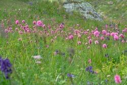 Blooming motley grass of alpine meadows with a predominance of Serpent grass (Bistorta carnea) and Monkshood (Aconitum napellus)). North Caucasus, Elbrus region