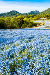 Blooming Nemophila Flowers or Baby Blue Eyes Blossoms in Spring in Manno Park Kagawa Prefecture in Japan, Botanical or Floral Image, Nobody