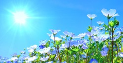 Blooming Nemophila on The Hill.Background of blue flowers.
