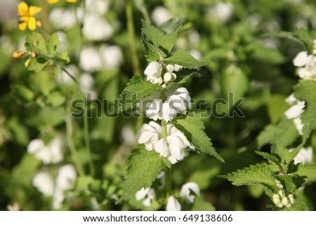 Blooming Nettle Bushes With White Flowers White Nettle Or White