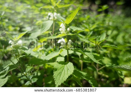 Blooming nettle bushes with white flowers white nettle or white blooming nettle bushes with white flowers white nettle or white dead nettle mightylinksfo