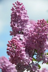 Blooming of a large branch of lilac. Bright flowers of a spring lilac bush.