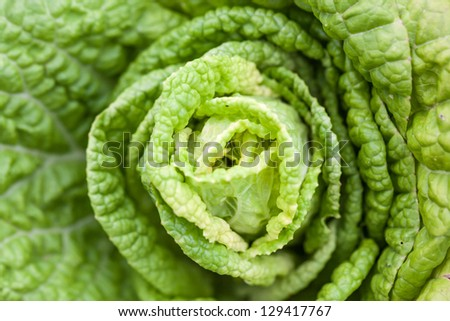 "blooming of ""Baby Chinese Cabbage"", a kind of cabbage,also called Endive"